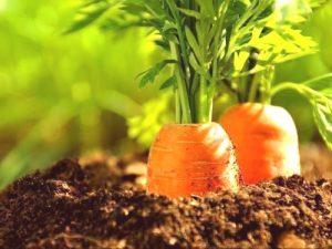 Mantén tus cultivos de zanahorias calientes durante el invierno