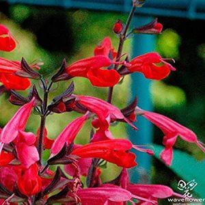 Salvia de piña
