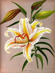 Lirios botánicos